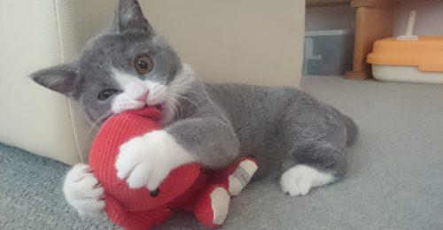 ぬいぐるみに噛みつく猫