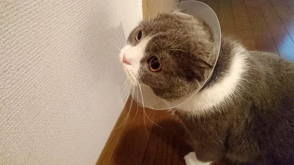 エリザベスカラー 猫の怪我の治療