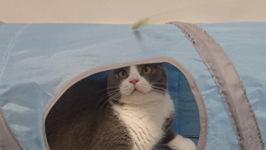 寄り目 歌舞伎役者の猫