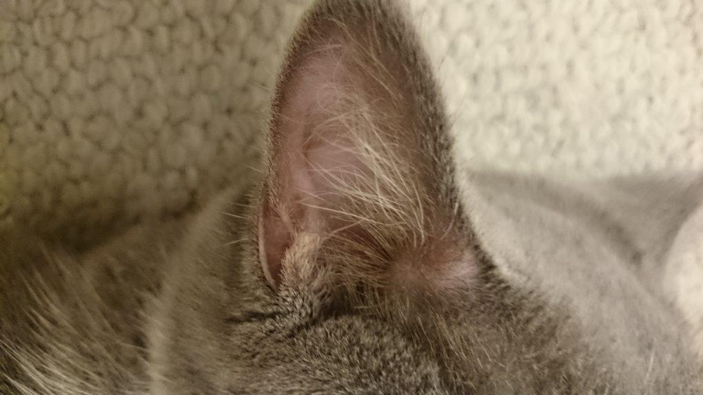 猫の袋耳(縁皮嚢)
