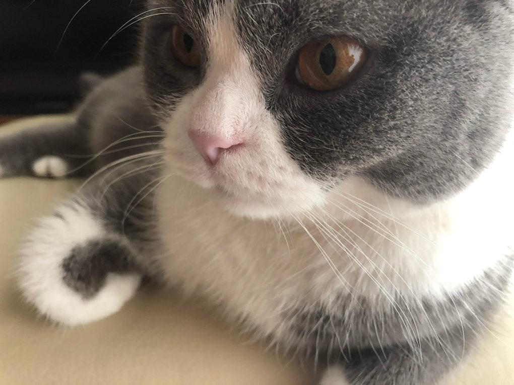 猫の鼻が白い
